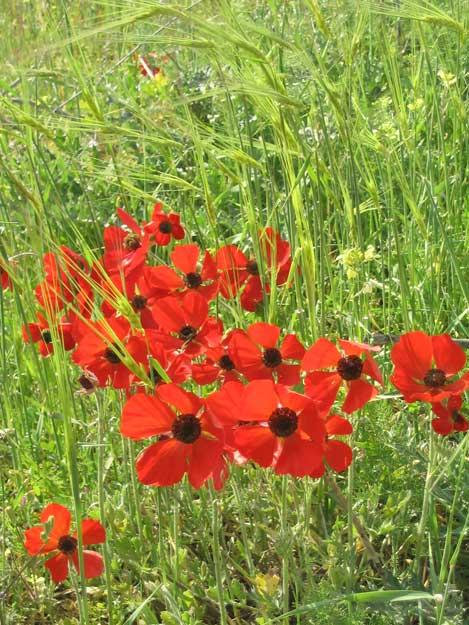 Springtime barley and red Nuriot (Buttercups), Jerusalem, Israel | © Melech ben Ya'aqov, Karaite Insights